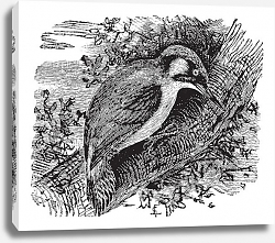 Постер Woodpecker or piculets or wrynecks, vintage engraving.