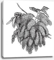 Постер Fraxinus ornus or Flowering Ash vintage engraving