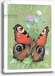 Постер Бенингфилд Гордон (1936-98) Peacock Butterfly, from Beningfield's Butterflies pub.by Chatto & Windus, 1978