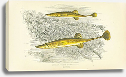Постер Fifteen-spined Stickleback