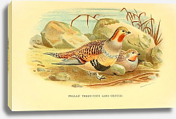 Постер Pallas Three-toed Sand-Grouse