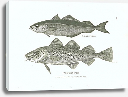 Постер Coal-Fish, Common Cod