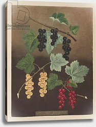 Постер Брукшоу Джордж Currant: Black currant and large Dutch red and white currants from 'Pomona Britannica'