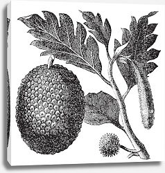 Постер Breadfruit, Artocarpe or Artocarpus altilis old engraving.