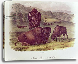 Постер Ауборн Джеймс (птицы) American Bison or Buffalo, from 'Quadrupeds of North America', 1842-45