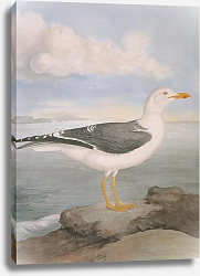 Постер Lesser Black-backed Gull