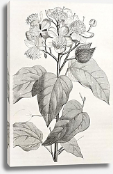 Постер Achiote (Bixa Orellana), the source of natural pigment annattot. Created by Rouyer, after watercolou