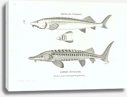 Постер Isinglass Sturgeon, Common Sturgeon 2
