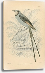 Постер Scissor-tail or Swallow Blackcap 2