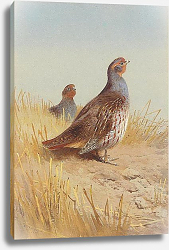 Постер A pair of english partridges