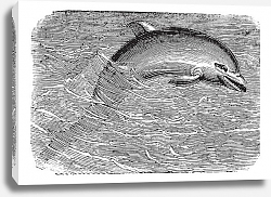 Постер Bottlenose Dolphin or Tursiops truncatus or Tursiops aduncus, vintage engraving