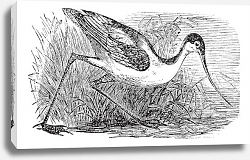 Постер Black-capped Avocet or Recurvirostra bird. Vintage engraved.