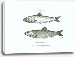 Постер Pilchard, Common Herring 2