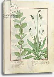 Постер Тестард Робинет (бот) Ms Fr. Fv VI #1 fol.113 Mint and Plantain, or Ribwort