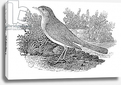 Постер Бевик Томас The Nightingale from the 'History of British Birds' Volume I, pub. 1797