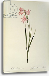 Постер Редюти Пьер Gladiolus Carneus, from `Les Liliacees', 1804