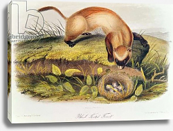 Постер Ауборн Джеймс (птицы) Black-footed Ferret from Quadrupeds of North America