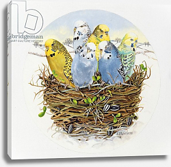 Постер Уоттс Э. (совр) Budgerigars in a Nest, 1995