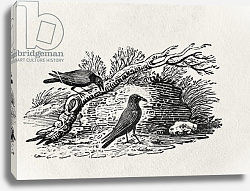 Постер Бевик Томас Crows from the 'History of British Birds' Volume I, pub. 1797