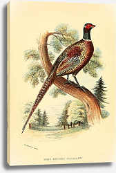 Постер Ring-Necked Pheasant