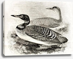 Постер Great Northern Loon (Gavia imber). Published on Magasin Pittoresque, Paris, 1850