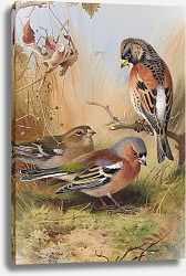 Постер A brambling and a pair of chaffinches
