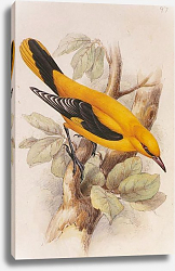 Постер Golden Oriole (male)