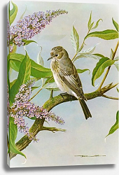 Постер British Birds - Spottedflycatcher