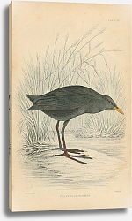 Постер Yellow-billed Waterhen