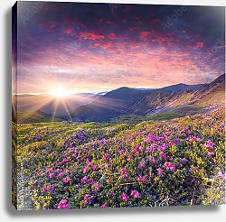 Постер Карпаты. Magic pink rhododendron flowers in the mountains