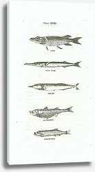 Постер Pike, Sea Pike, Saury, Atherine, Argentine