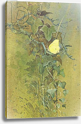 Постер Бенингфилд Гордон (1936-98) Brimstone on Ivy, from Beningfield's Butterflies pub.by Chatto & Windus, 1978