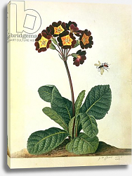 Постер Эгрет Джордж Primulaecae: a Flowering Polyanthus with a Flying Insect, 1764