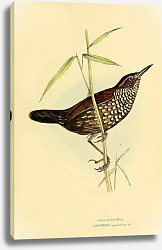 Постер Sharp tailed Wren