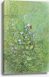 Постер Бенингфилд Гордон (1936-98) Brown Argus and Small Blue Butterflies on Blue Speedwell, from Beningfield's Butterflies pub.by Chatto & Windus, 1978