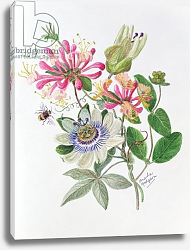 Постер Ходжсон Урсула (совр) Honeysuckle and Passion flower