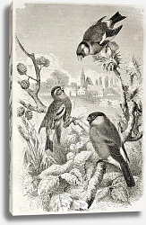 Постер Goldfinch, Siskin and Bullfinch old illustration. Created by Kretschmer and Jahrmargt, published on