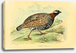 Постер Common Francolin
