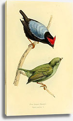 Постер Blue-backed Manakin