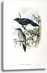 Постер Purple-throated Glossy Starling - Calornis gularis
