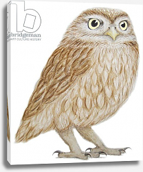 Постер Графтон Эле (совр) Little Owl, 2011