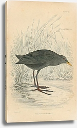 Постер Yellow-billed Waterhen 2