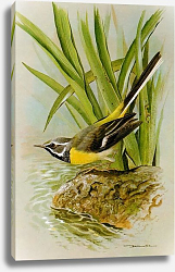 Постер British Birds - Grey Wagtail