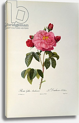 Постер Редюти Пьер Rosa Gallica Aurelianensis or the Duchess of Orleans from, 'Les Roses', 1821