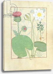 Постер Тестард Робинет (бот) Ms Fr. Fv VI #1 fol.129r Plumed thistle, Water lily and Castor bean plan