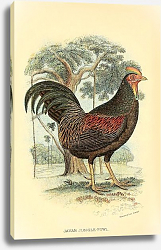 Постер Javan  Jungle-Fowl