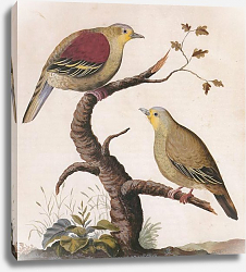 Постер Pompadour Green Pigeon (male and female)