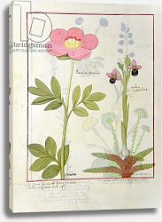 Постер Тестард Робинет (бот) Ms Fr. Fol VI #1 Paeonia or Peony, and Orchis myanthos, c.1470