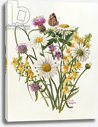 Постер Ходжсон Урсула (совр) Knapweed, Ox-eye Daisy and Toad Flax