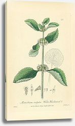 Постер Marrubium vulgare. White Horehound